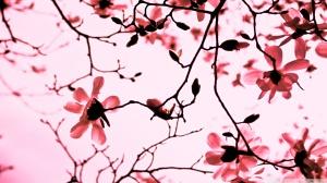 magnolia-twigs_00445486
